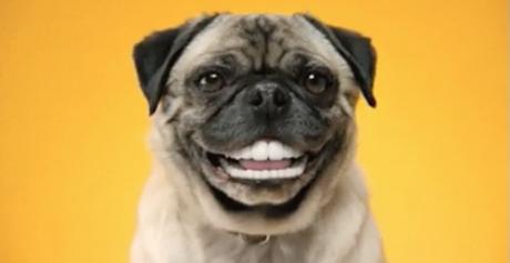 Mops med tænder